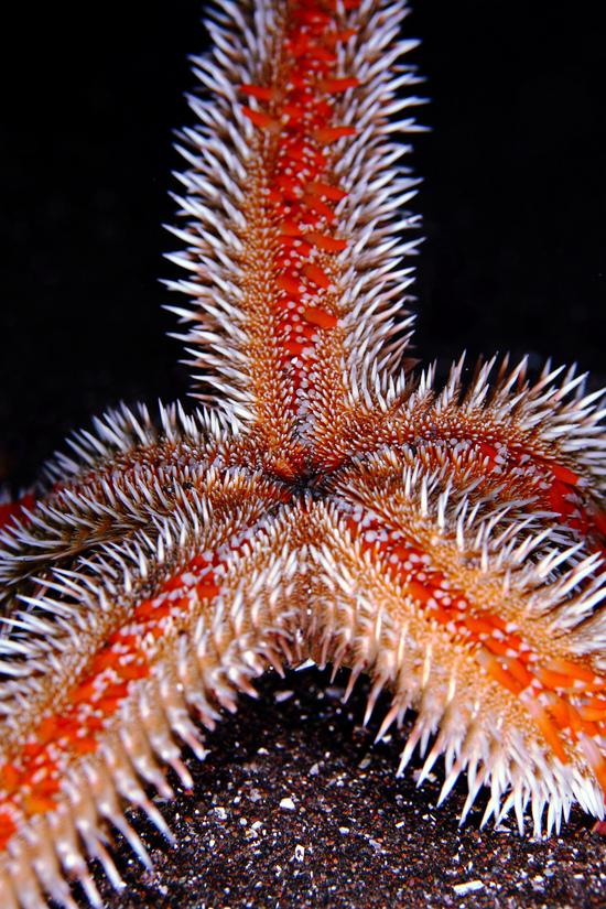 トゲモミジガイ Astropecten polyacanthus