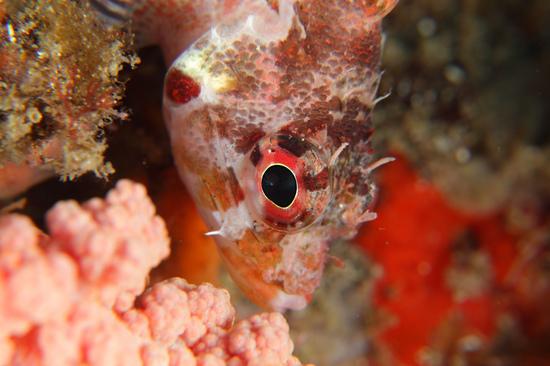 イソカサゴ Scorpaenodes littoralis