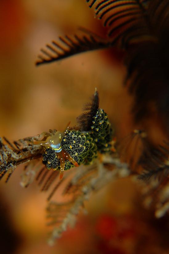 ゴシキミノウミウシ Cuthona diversicolor
