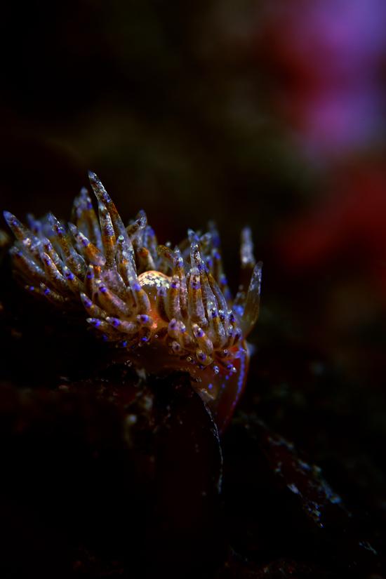 ミノウミウシの仲間 AEOLIDINA sp