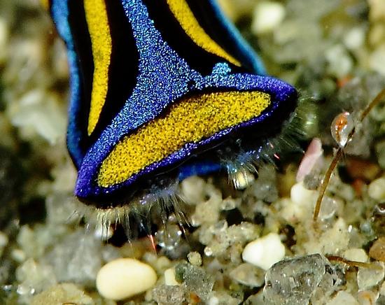ニシキツバメガイ Chelidonura hirundinina