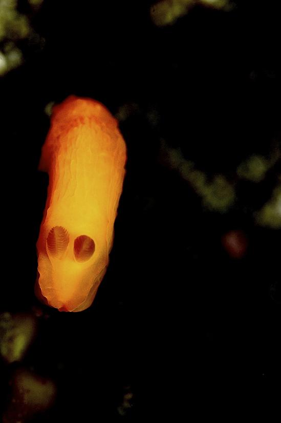 Gymnodoris inornata キヌハダウミウシ