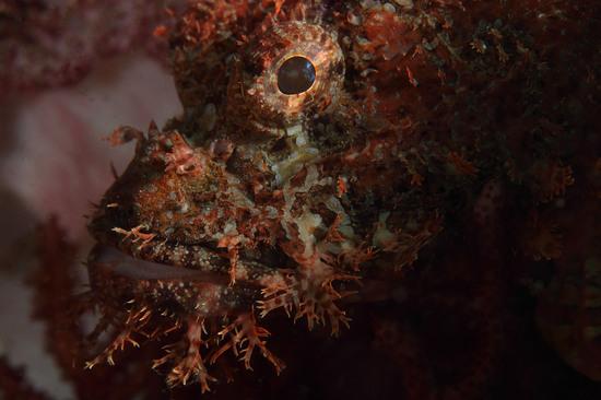 オニカサゴ Scorpaenopsis cirrhosa