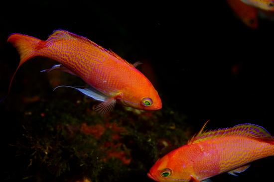 ナガハナダイ Pseudanthias elongatus