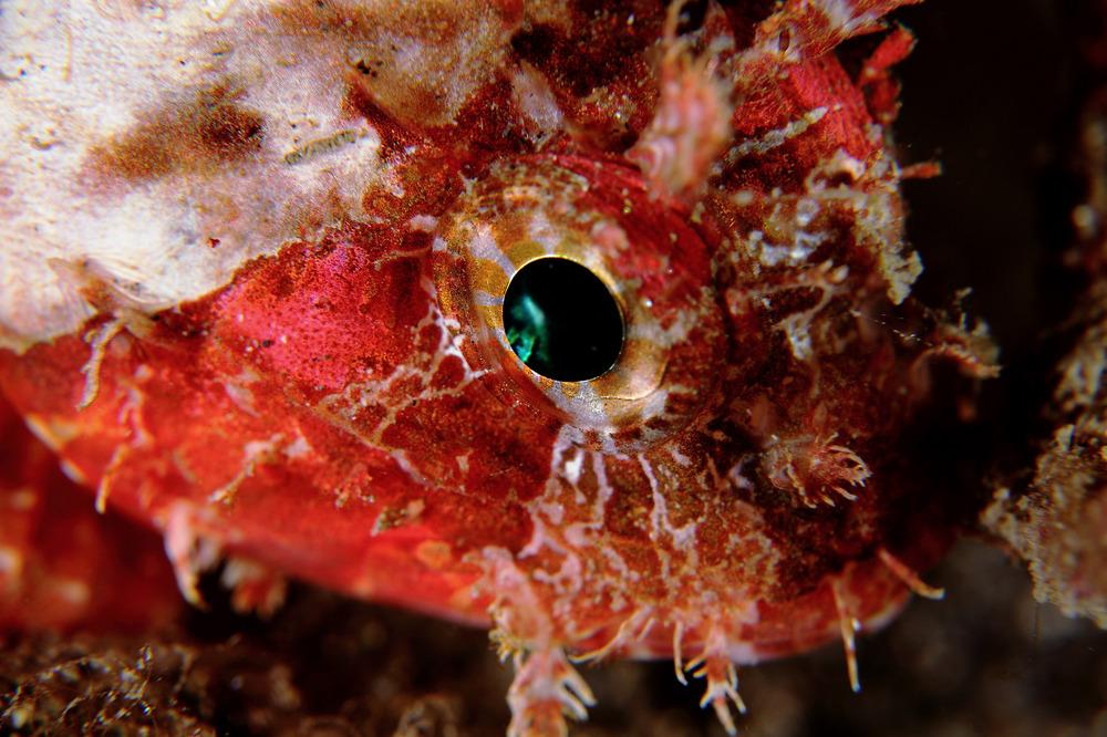 Scorpaenodes littoralis イソカサゴ