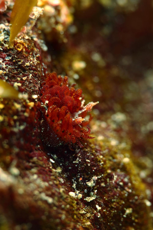 Madrella ferruginosa マドレラ・フェルギノーサ