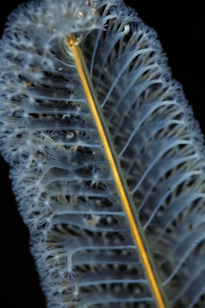 Virgularia gustaviana ヤナギウミエラ