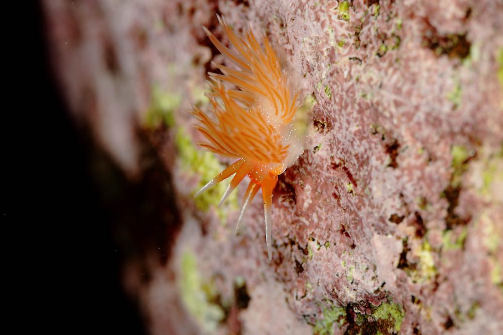 Sakuraeolis enosimensis アカエラミノウミウシ