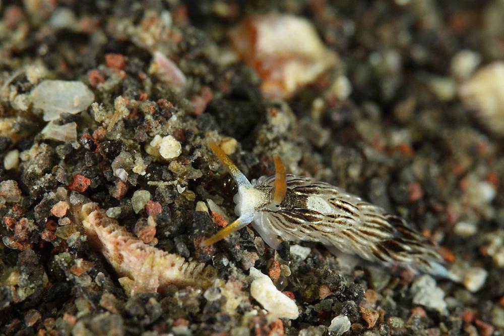 GLAUCIDAE sp. アオウミウシ科の一種