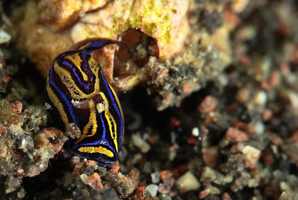 Chelidonura hirundinina ニシキツバメガイ