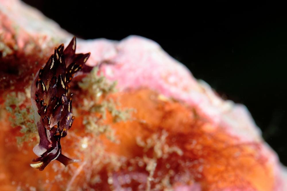 Hermaea noto ノトアリモウミウシ