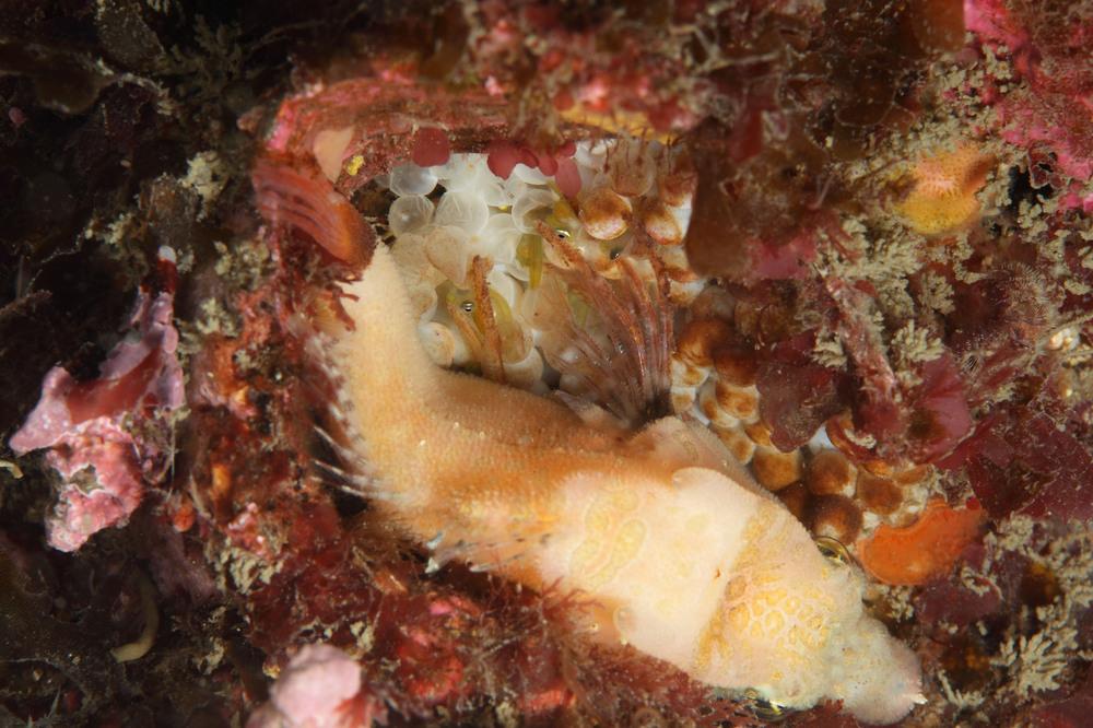 Grant Sculpin クチバシカジカの孵化