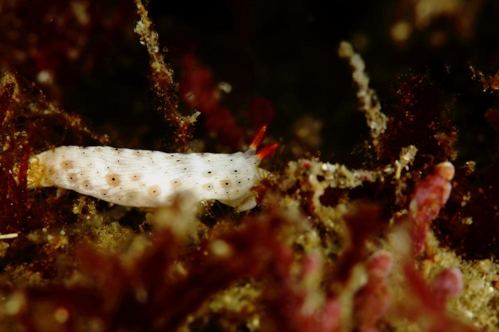Dermatobranchus otome オトメウミウシ