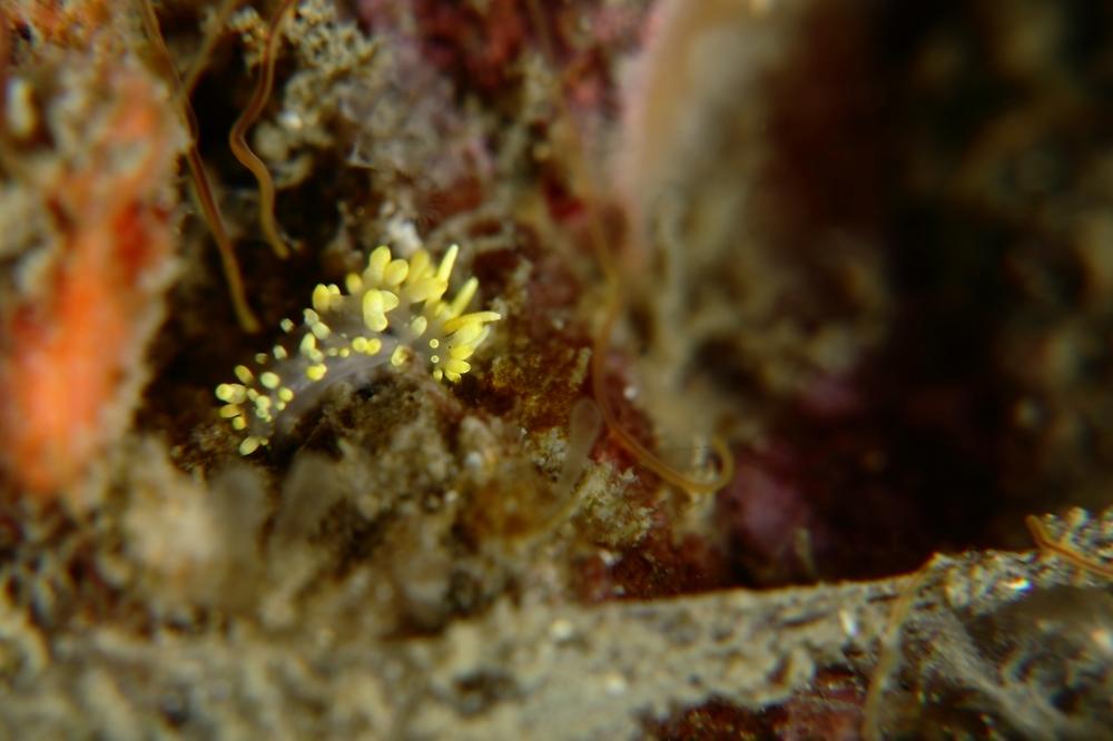 コガネミノウミウシ Flabellina sp.