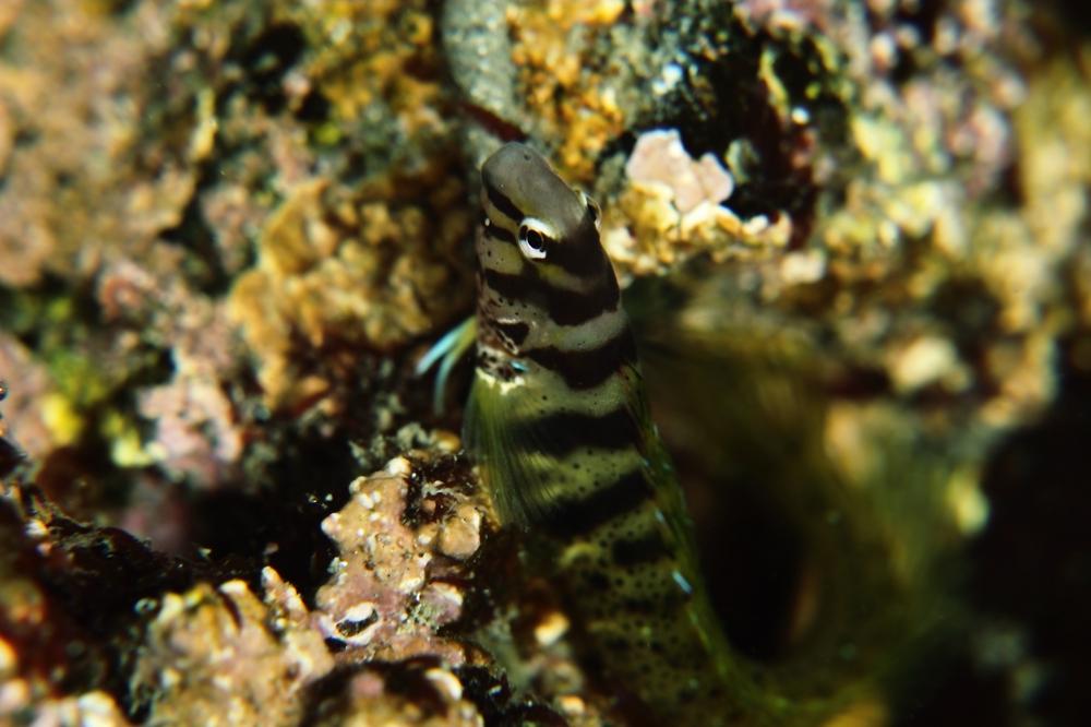 ナベカ Omobranchus elegans