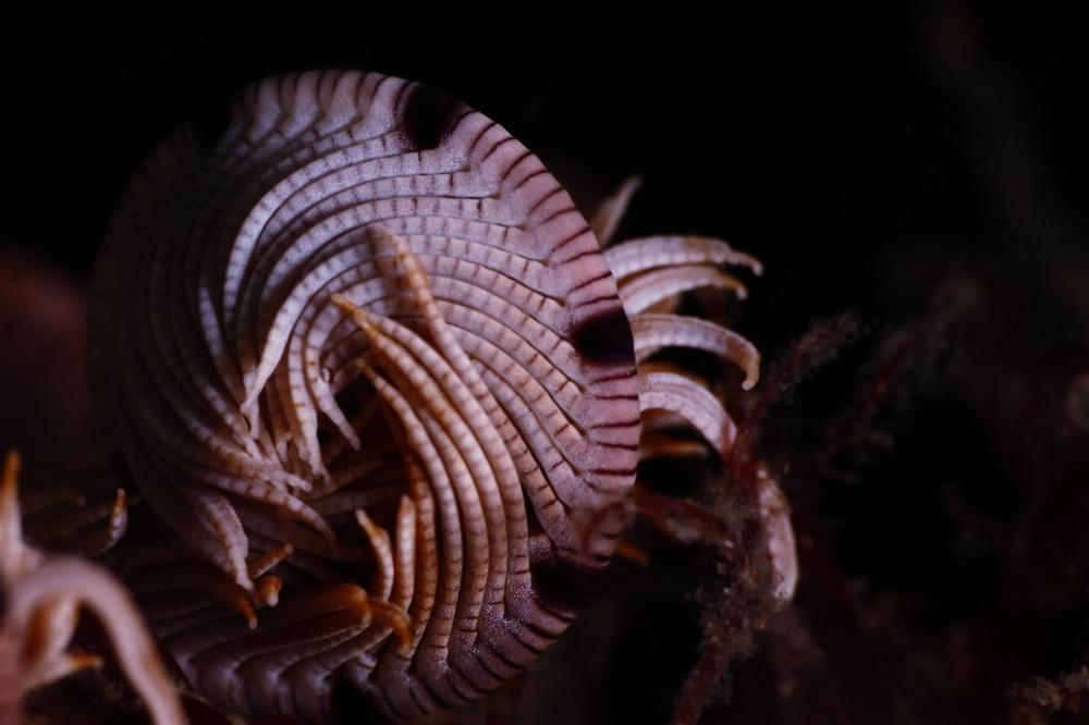 Eudiocrinidae マダラウミシダ