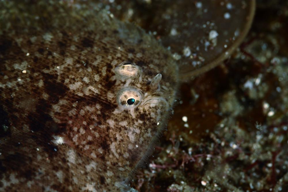 Parachirus sp. ムスメウシノシタ