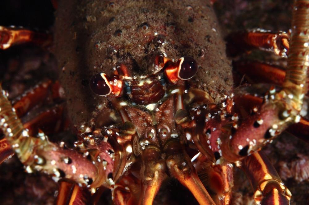 Panulirus japonicus イセエビ