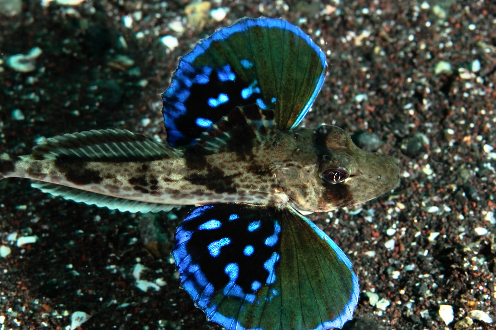 Chelidonichthys spinosus ホウボウ