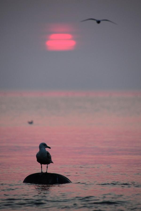 羅臼の朝 オオセグロカモメ