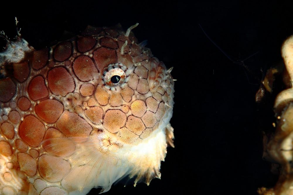 ナメダンゴ Eumicrotremus orbis