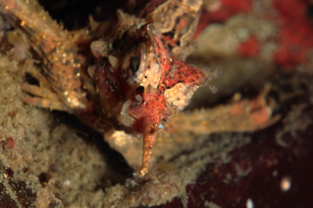 アツモリウオ  Hypsagonus proboscidalis