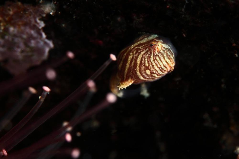 コンペイトウ Eumicrotremus birulai