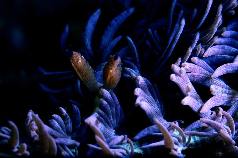 ムカデミノウミウシ Pteraeolidia ianthina