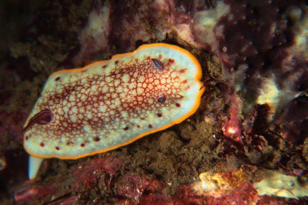 サラサウミウシ Chromodoris tinctoria