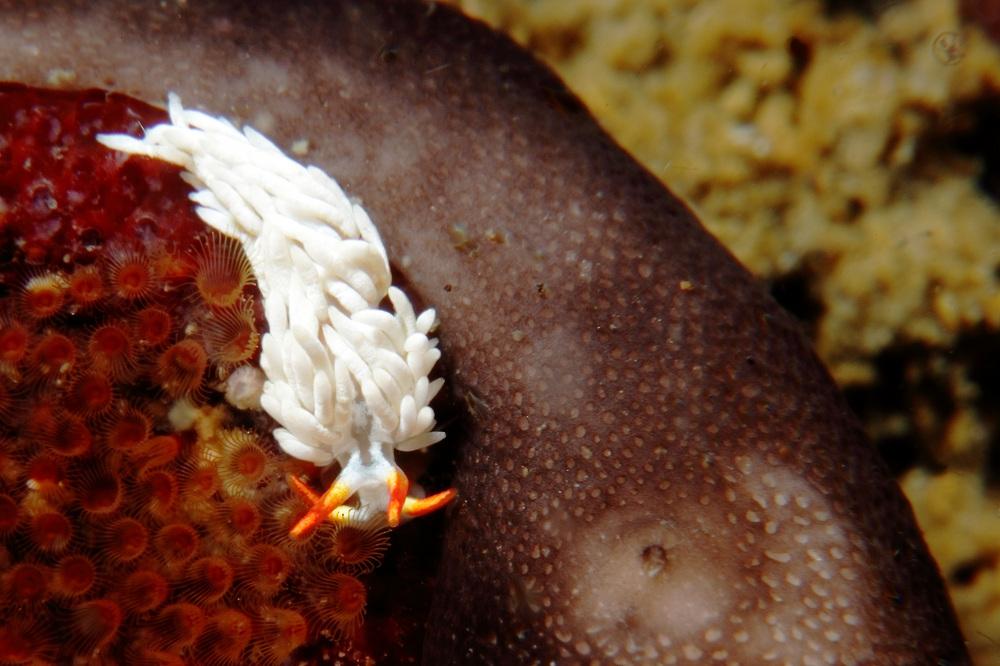 ミノウミウシ亜目の一種 AEOLIDINA sp.