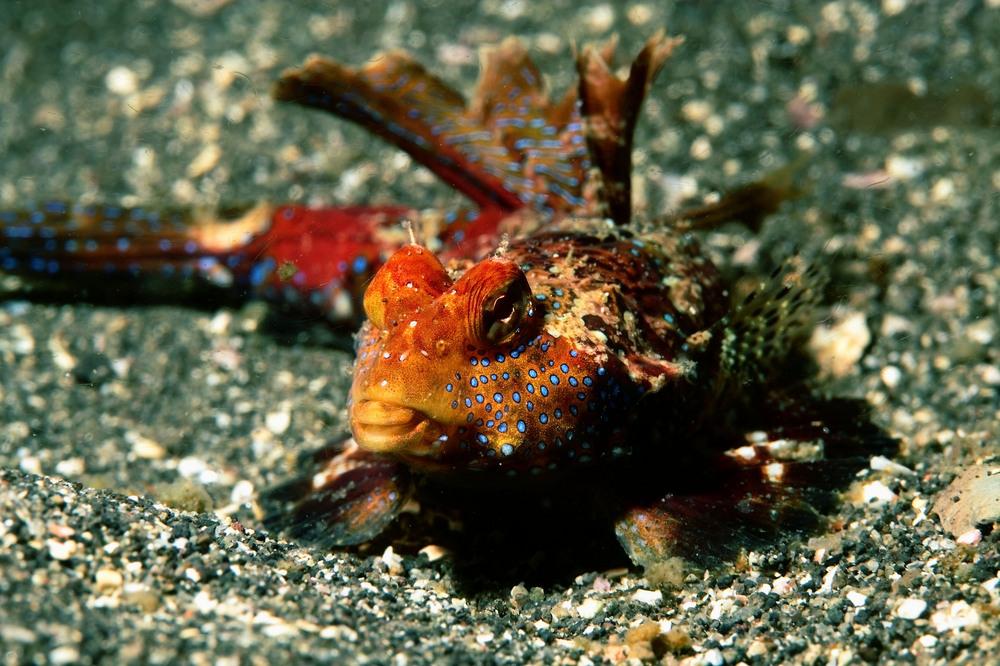 ヤマドリ Neosynchiropus ijimai