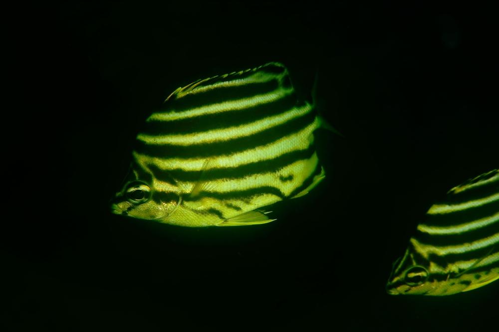 カゴカキダイ Microcanthus strigatus
