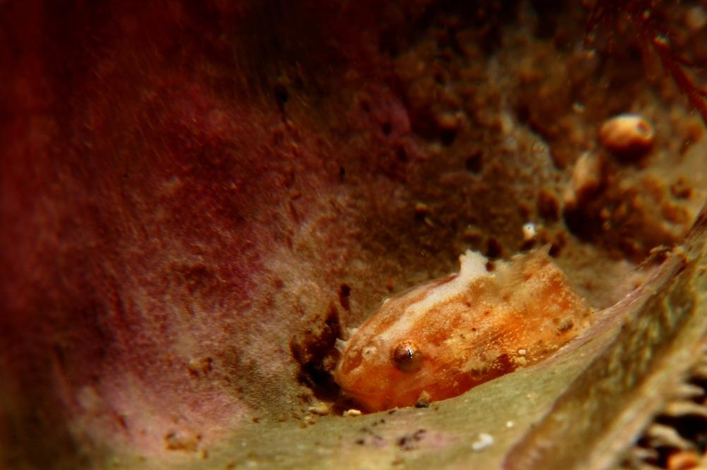 スナビクニン Liparis punctulatus