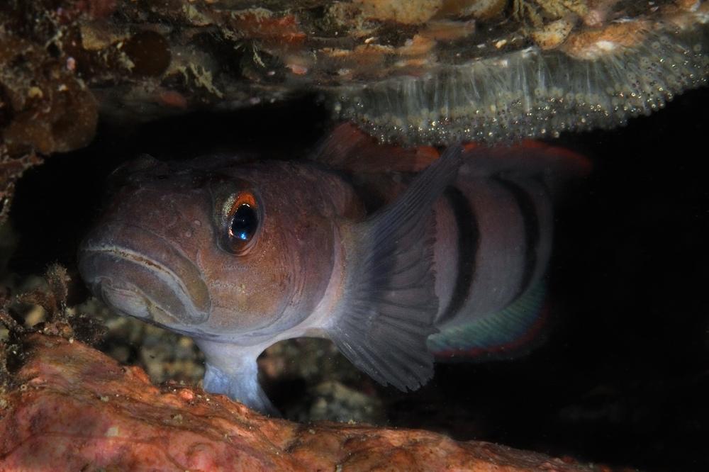 リュウグウハゼ Pterogobius zacalles 抱卵