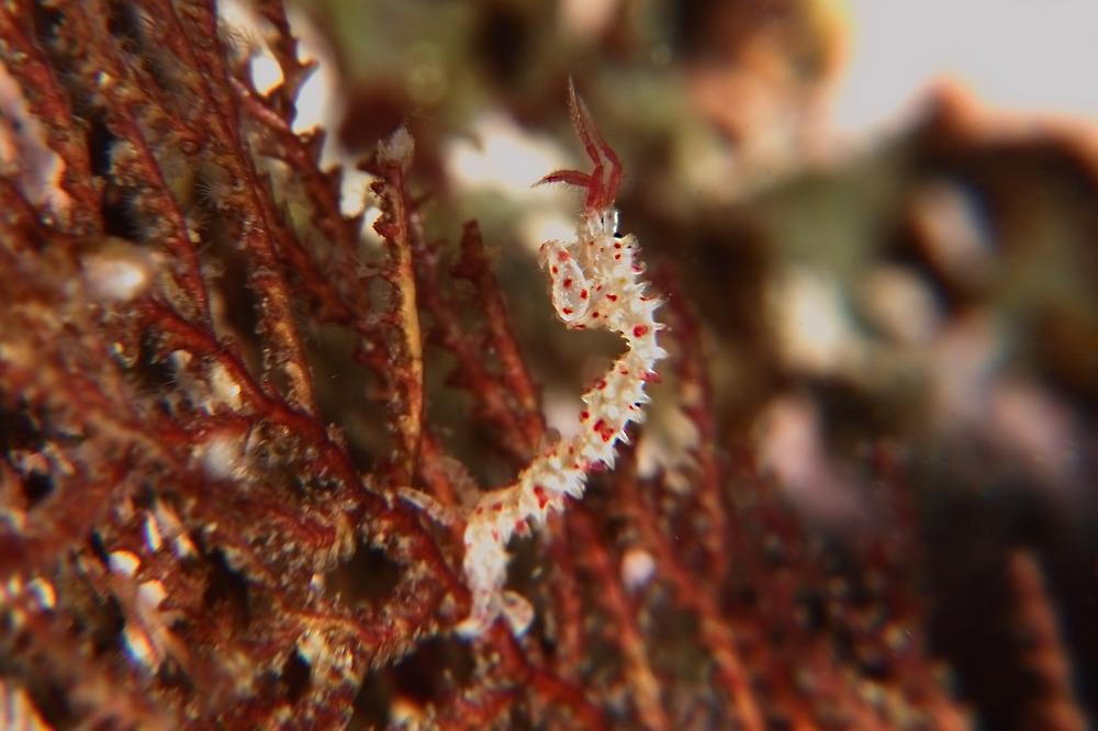 イガワレカラ Caprella polyacantha