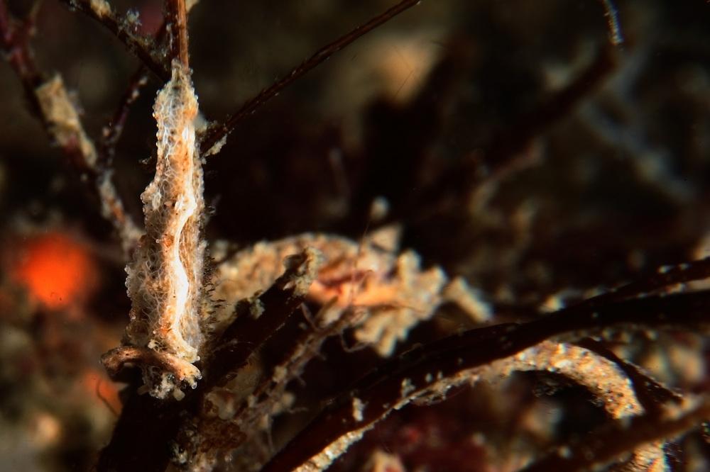 ロマノータス属の一種 Lomanotus sp.