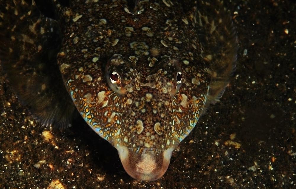 ヤリヌメリ Repomucenus huguenini