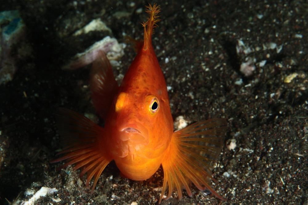 オキゴンベ Cirrhitichthys aureus