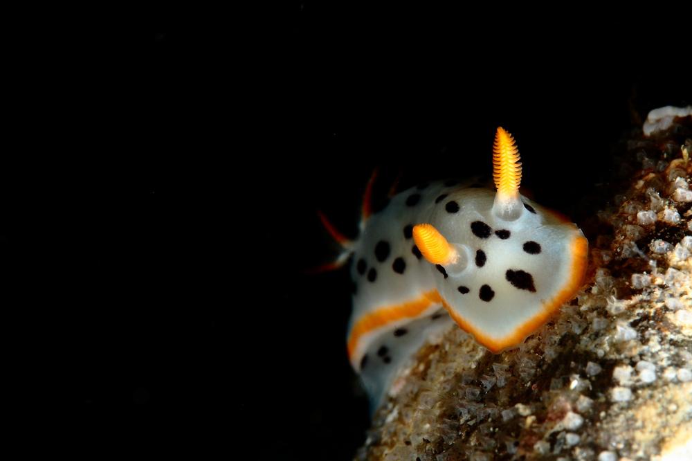 シロウミウシ Chromodoris orientalis