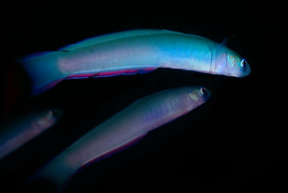 ヒメユリハゼ Ptereleotris monoptera