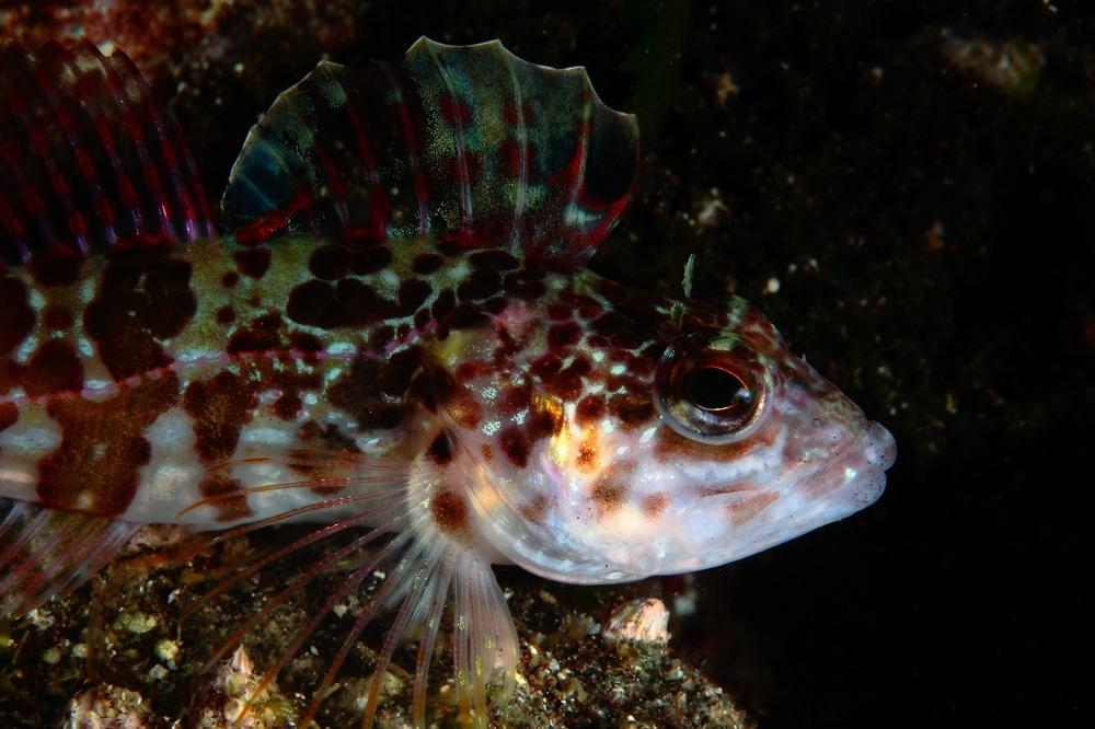 オビアナハゼ Pseudoblennius zonostigma