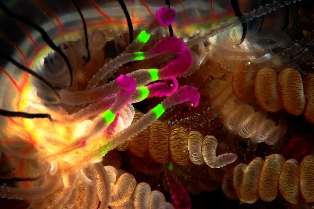 ハナガサクラゲ Olindias formosa