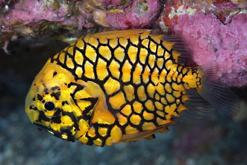 マツカサウオ(松笠魚 Monocentris japonica)