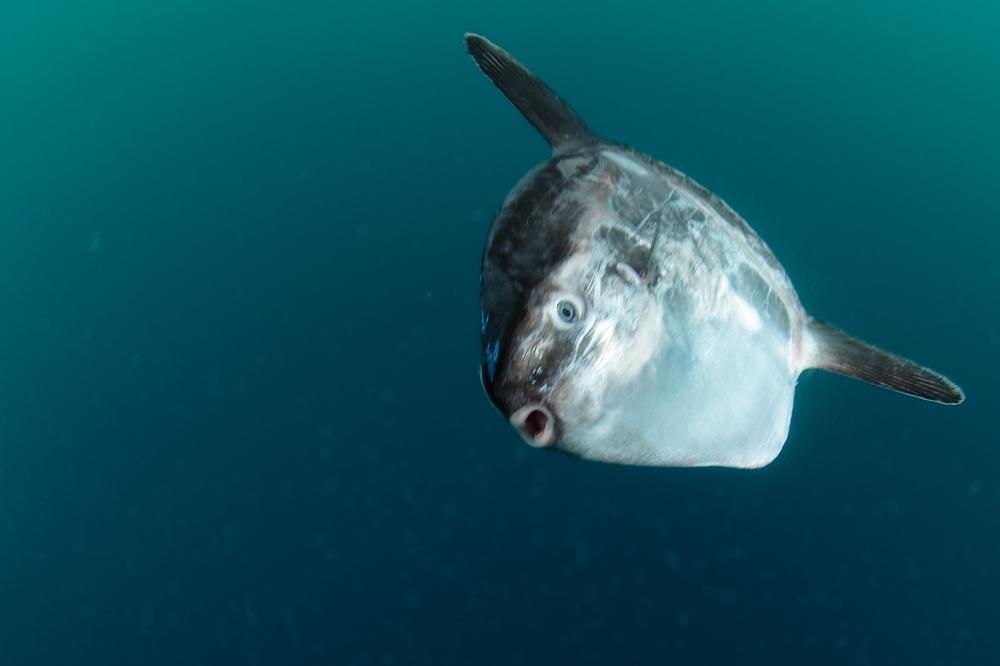 マンボウ Mora mora ocean sunfish