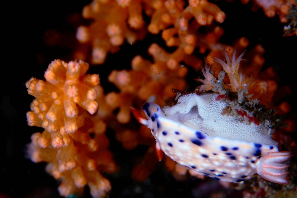 サガミイロウミウシ Hypselodoris sagamiensis