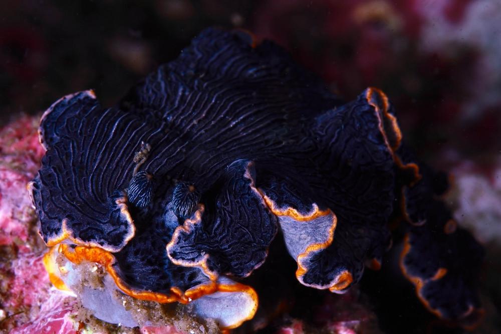 オセザキオトメウミウシ Dermatobranchus sp.