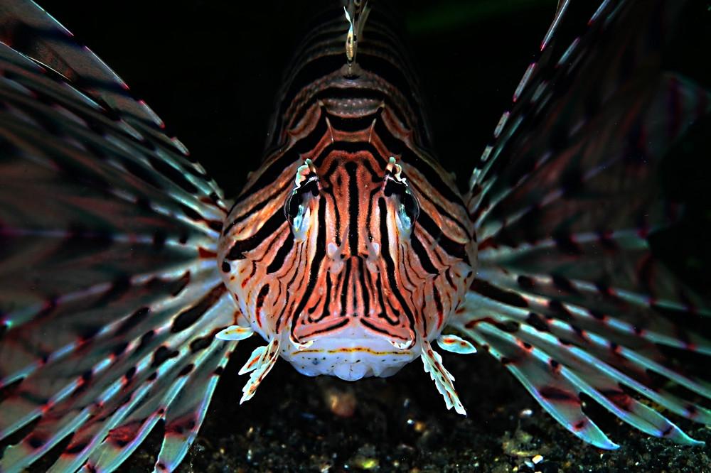 ミノカサゴ Pterois lunulata