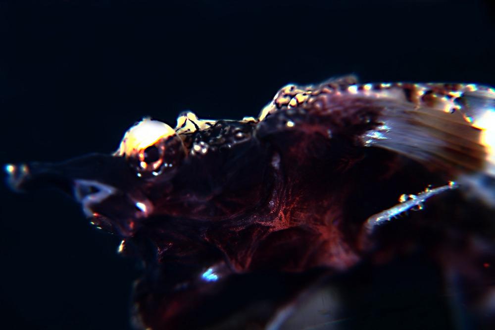 ウミテングEurypegasus draconis
