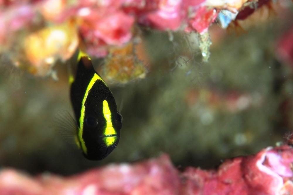 キヘリキンチャクダイ Chaetodontoplus melanosoma
