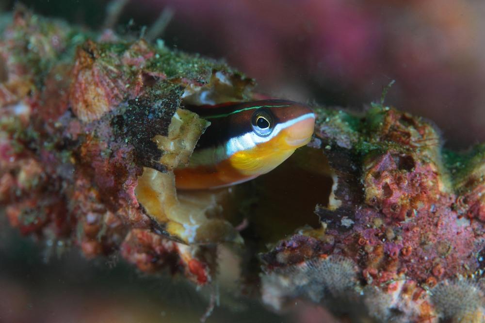 テンクロスジギンポ Plagiotremus tapeinosoma